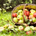 appleharvest